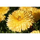 Calendula officinalis 'Lemon Cream' ™