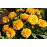 Calendula officinalis 'Lemon Twist' ™