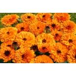 Calendula officinalis 'Orange Button' ™
