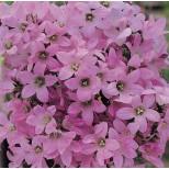 Campanula lactiflora 'Dwarf Pink' ™
