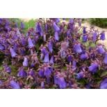 Campanula wanneri 'Violet Belle' ™