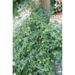 Cardiospermum halicacabum 'Green Lanterns