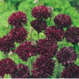 Centaurea cyanus 'Black Ball' ™