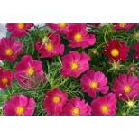 Cosmos bipinnatus 'Hot Pink'