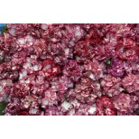 Dianthus caryophyllus 'Raspberry Ripple' ™