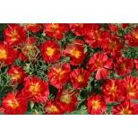 Eschscholzia californica 'Cherry Swirl'