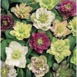 Helleborus orientalis 'Double Queen Mixed' ™