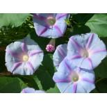 Ipomoea purpurea 'Blue Star' ™