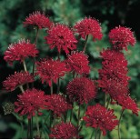 Knautia macedonica 'Red Knight' ™