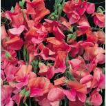Lathyrus odoratus 'Apricot Sprite' ™