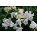 Lathyrus odoratus 'Blush Perfume' ™