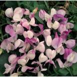 Lathyrus odoratus 'Pansy Lavender Flush' ™