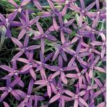 Laurentia axillaris 'Blue Stars' ™