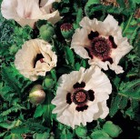 Papaver orientale 'Checkers' ™