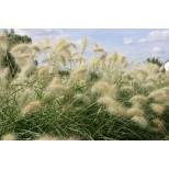 Pennisetum villosum 'Cream Falls' ™