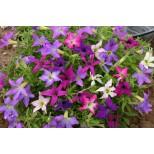 Petunia hybrida 'Sparklers' ™