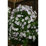 Petunia hybrida 'Tickled Blush'