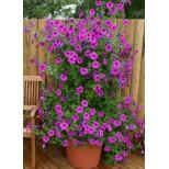 Petunia hybrida 'Tickled Pink'  ™
