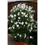 Petunia hybrida 'Tickled White'