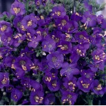 Polemonium boreale 'Heavenly Habit' ™