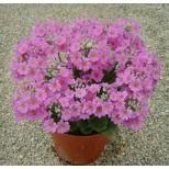 Primula malacoides 'Beauty Lilac' ™