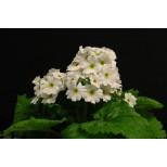 Primula malacoides 'Beauty White' ™