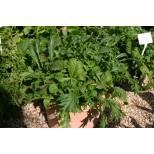 Salad Leaf Herby Mix ™