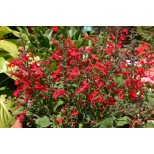 Salvia roemeriana 'Red Dwarf' ™