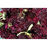 Scabiosa atropurpurea 'Burgundy Beau' ™