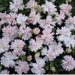 Silene pendula ''Peach Blossom'' ™