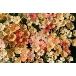 Verbena hybrida 'Tropical Fruits' ™