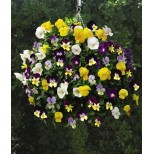 Viola hybrida 'All Spice Mix' ™