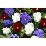 Viola wittrockiana 'Flying The Flag' ™