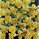 Viola hybrida 'Miniola Heart Gold' ™