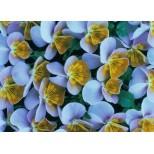 Viola hybrida 'Miniola Heart Ice Blue' ™