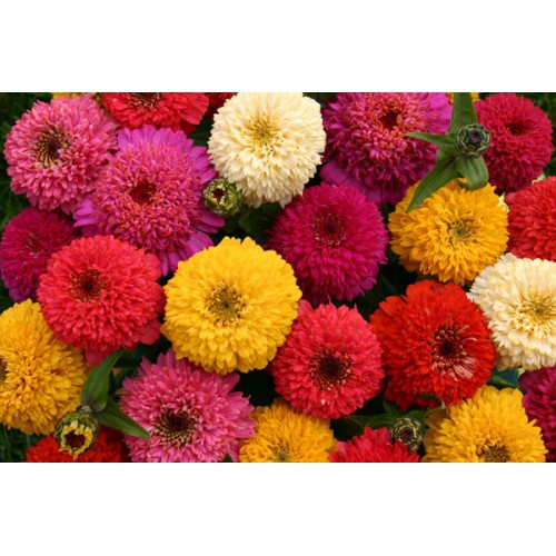 Zinnia Elegans Germination Zinnia Elegans 'candy Mix' ™