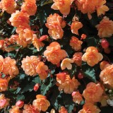 Begonia 'Fragrant Falls Peach'