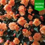 Begonia 'Fragrant Falls Peach'