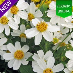 Bidens 'Moon Light'