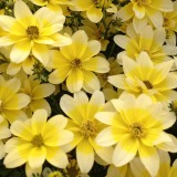 Bidens 'Spot Light'