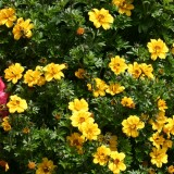 Bidens 'Pirates Treasure'