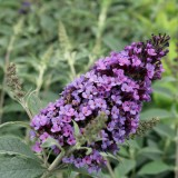 Buddleja 'Buzz Blue'