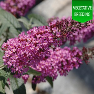Buddleja 'Buzz Dark Pink'