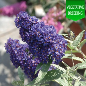 Buddleja 'Buzz Midnight'