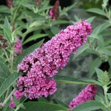 Buddleja 'Buzz Soft Pink'