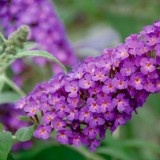 Buddleja 'Buzz Purple'