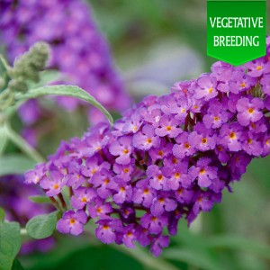 Buddleja 'Buzz Purple'