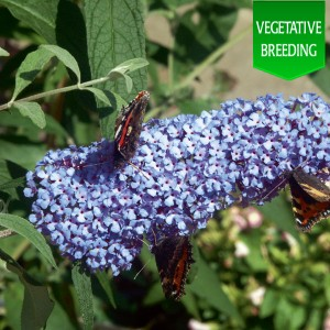 Buddleja 'Buzz Sky Blue'