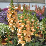 Digitalis 'Illumination Apricot'