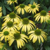 Echinacea Emotion Yellow